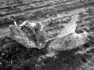clipped wings one bw